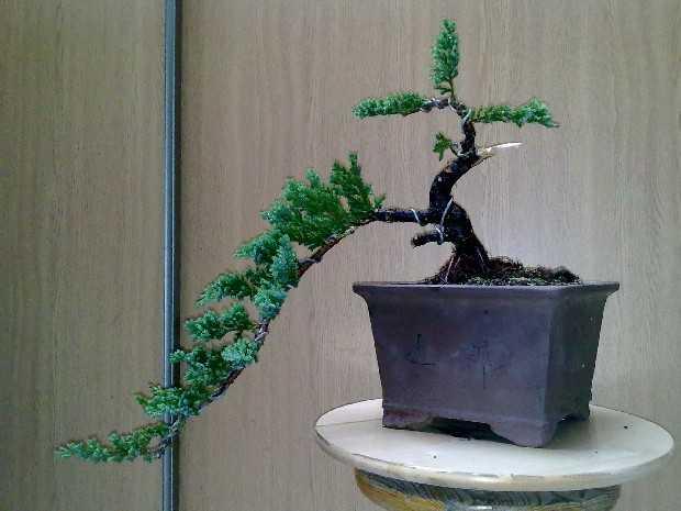 estilos de bonsais
